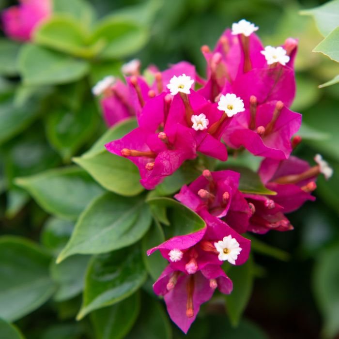 Bougainvillea Pink Pixie  ] 9023580200 - Flower Power