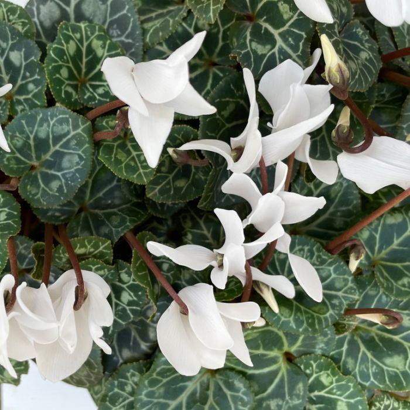Cyclamen Pure White  ] 9031110080P - Flower Power