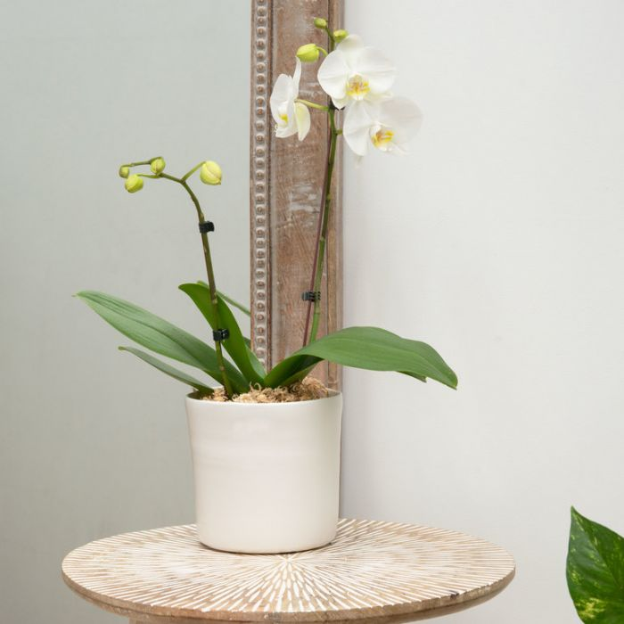 Living Trends Coventry Orchid Planter  ] 9036939999 - Flower Power