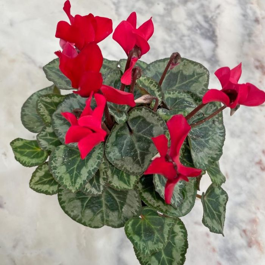 Cyclamen Metis Scarlet Red Silver Leaf  ] 9037310118 - Flower Power