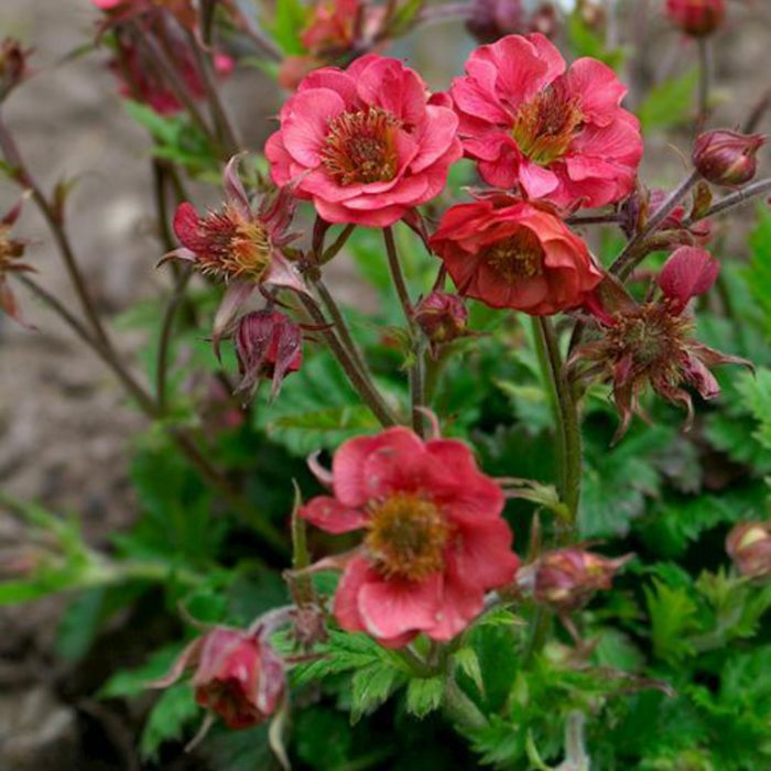 Geum Flames of Passion  ] 9313208004765 - Flower Power
