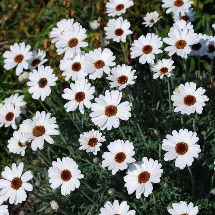 Rhodanthemum African Eyes  ] 9313208012036 - Flower Power