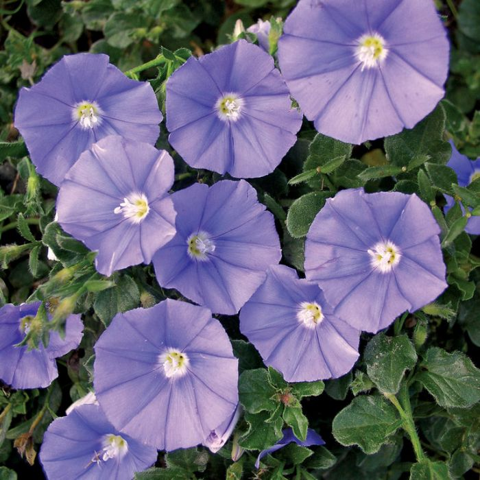 Convolvulus Moroccan Beauty  ] 9313208015181 - Flower Power