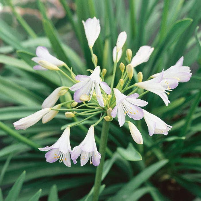 Agapanthus Silver Baby  ] 9313208015365P - Flower Power