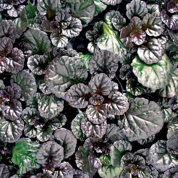 Ajuga Black Scallop  ] 9313208017451 - Flower Power