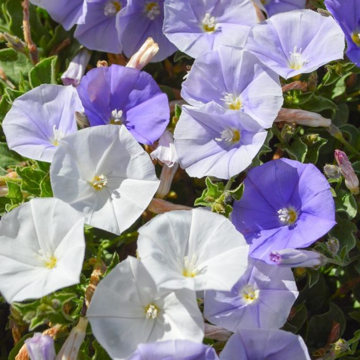 Convolvulus Two Moons  ] 9313208025524 - Flower Power