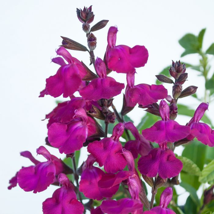 Salvia Heatwave Brilliance  ] 9313208052865 - Flower Power