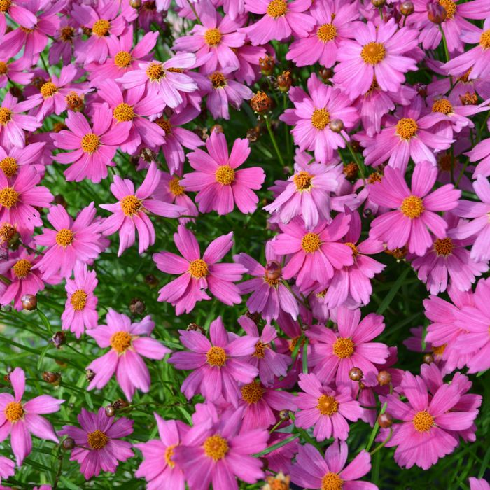 Coreopsis Pink Lady  ] 9313208053206 - Flower Power