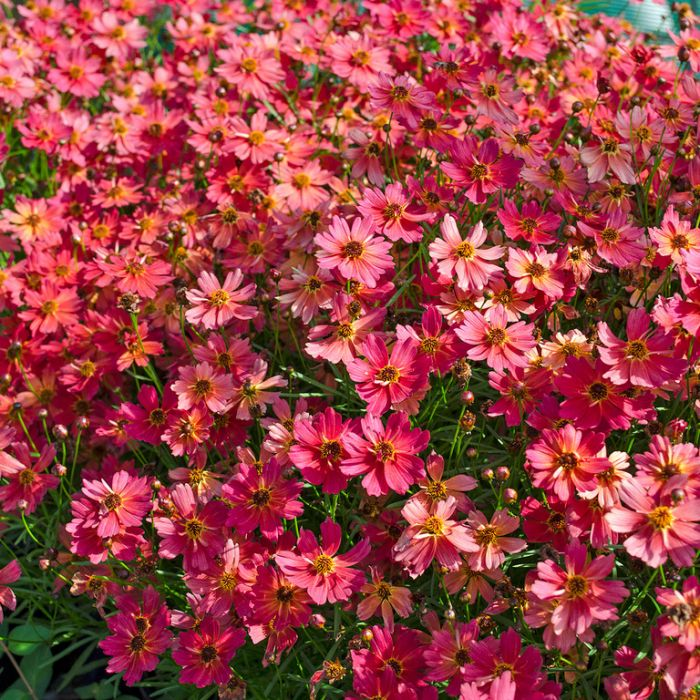 Coreopsis Rum Punch  ] 9313208053213 - Flower Power