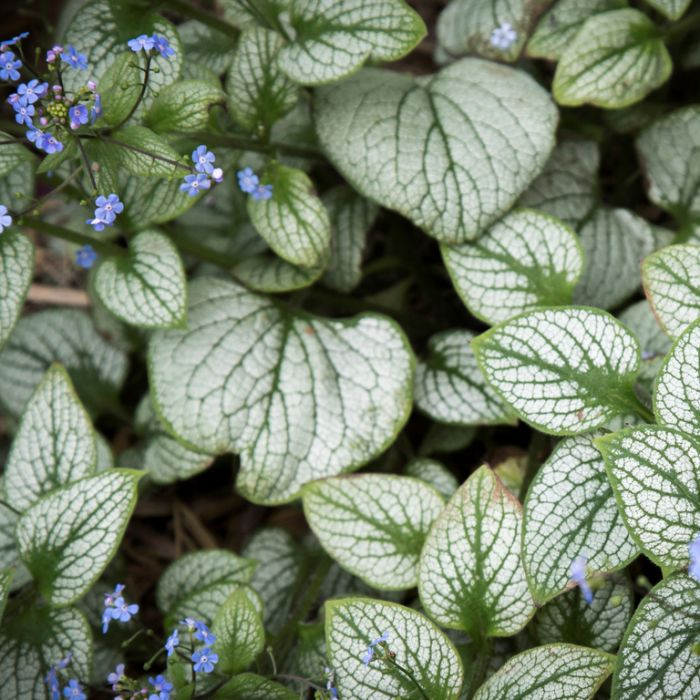 Brunnera Sea Heart  ] 9313208563101P - Flower Power