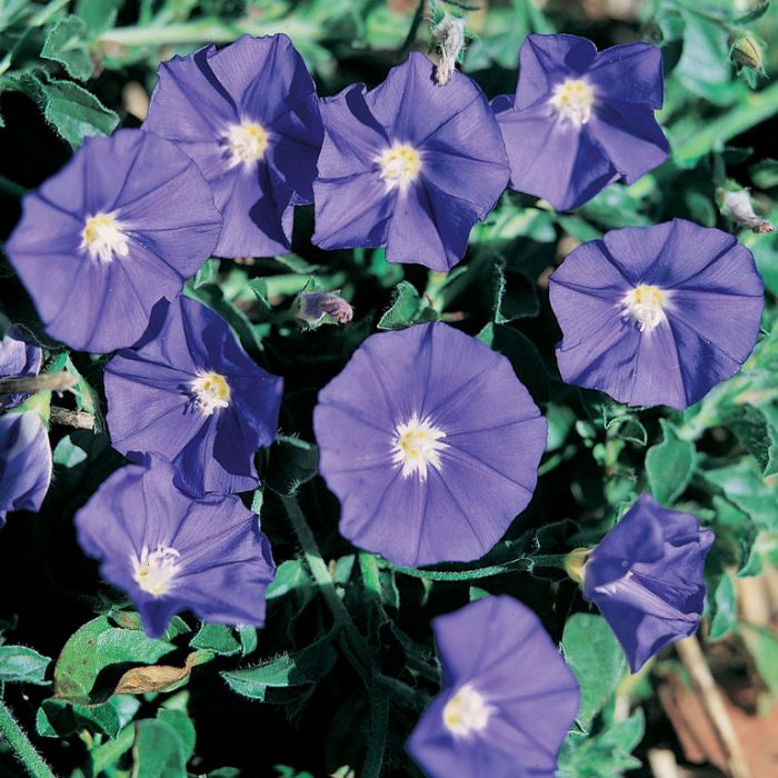 Convolvulus New Blue Moon  ] 9313208564481 - Flower Power
