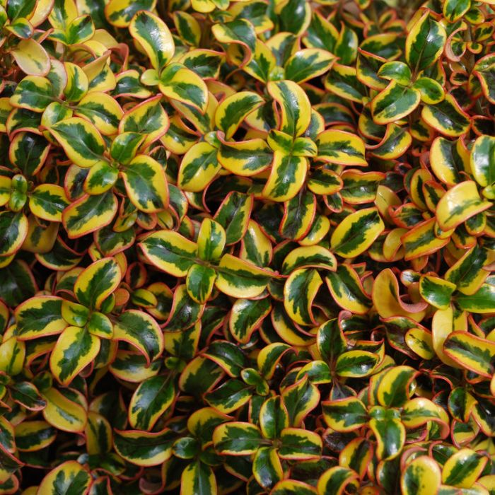 Coprosma Golden Star  ] 9313208564658 - Flower Power