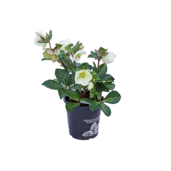 Mollys White Hellebore  ] 9313208564863 - Flower Power