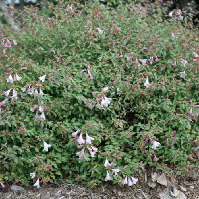 Abelia Pinky Bells  ] 9313208564870 - Flower Power