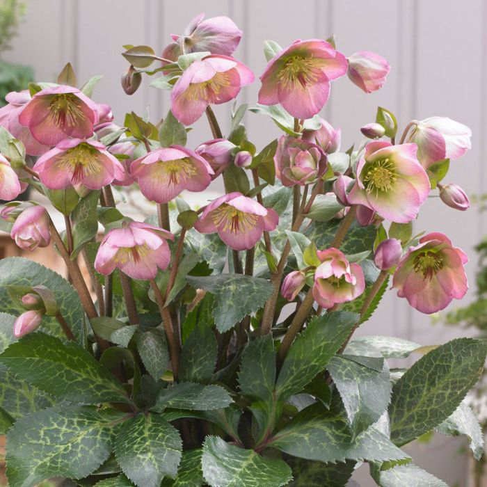 Hellebore Hannahs Blush  ] 9313208564962 - Flower Power