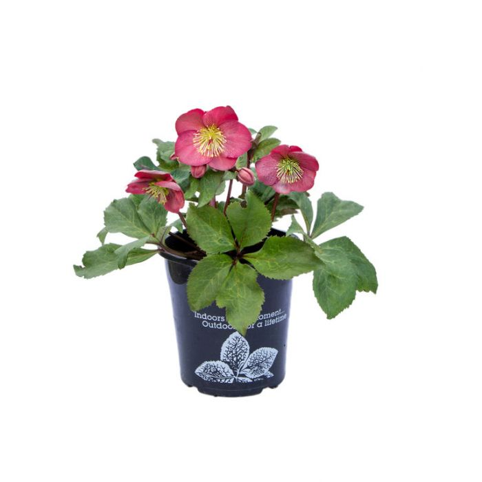 Hellebore Emmas Dream  ] 9313208564979 - Flower Power