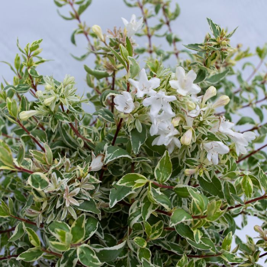Abelia Sparkling Silver  ] 9313208568694 - Flower Power