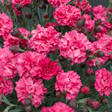 Dianthus Sugar Plum Raspberry  ] 9313208569806 - Flower Power
