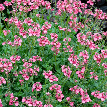 Diascia Gardascia Candy Pink  ] 9313208569882 - Flower Power