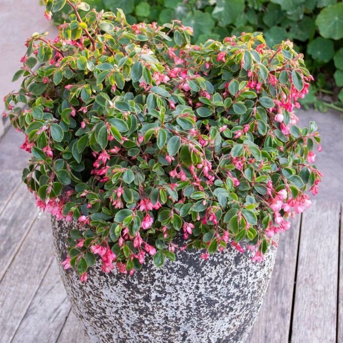 Begonia Fancy Pants  ] 9313208569950 - Flower Power