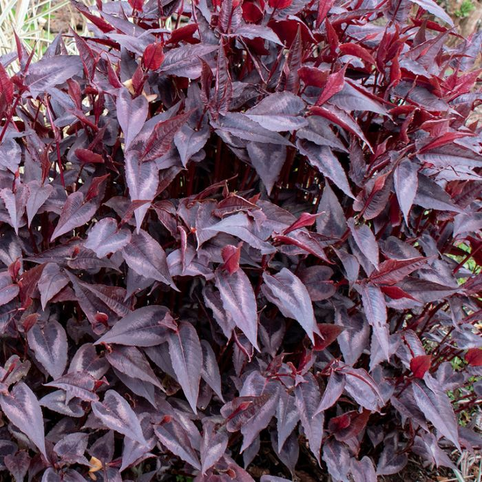 Persicaria Red Dragon  ] 9313208575906 - Flower Power