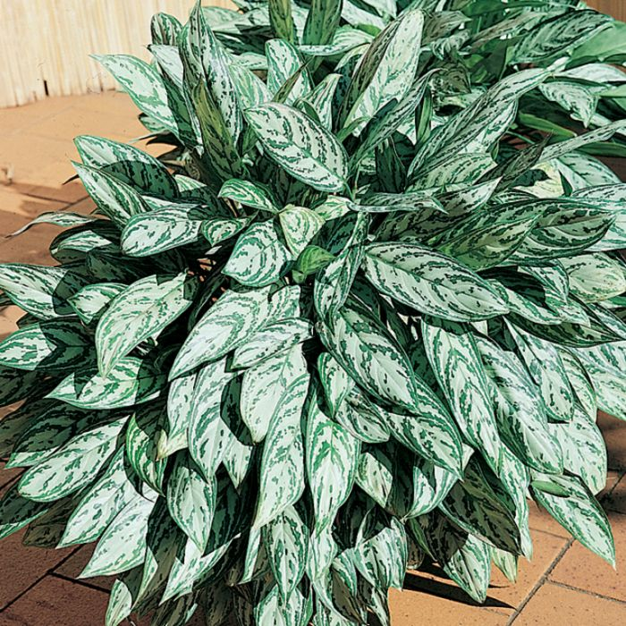 Aglaonema Silver Queen  ] 9313598101570P - Flower Power