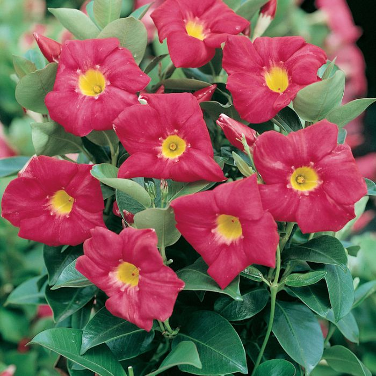 Dipladenia 'Scarlet Pimpernel'  ] 9313598102317P - Flower Power
