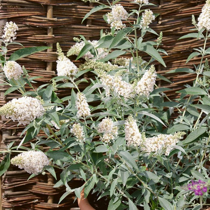 Ivory Butterfly Bush  ] 9313598104854P - Flower Power