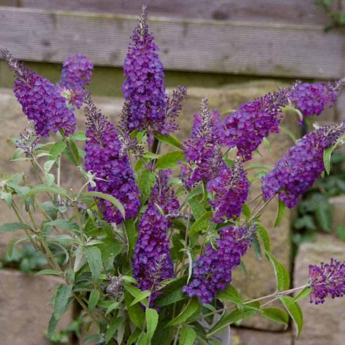 Buddleja Buzz Purple  ] 9313598104878 - Flower Power