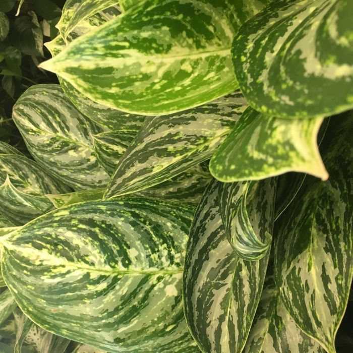 Aglaonema Brilliant Beauty  ] 9313598105455 - Flower Power