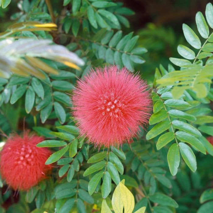 Calliandra haematocephala  ] 9313598110008 - Flower Power