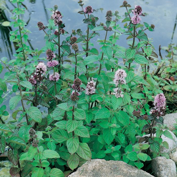 Mentha aquatica  ] 9314842000045 - Flower Power