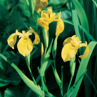 Yellow Flag Iris  ] 9314842000441 - Flower Power