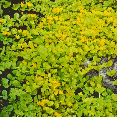 Lysimachia Aurea  ] 9314842001455 - Flower Power