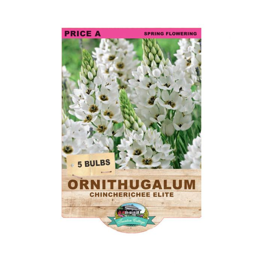 Ornithogalum Chincherinchee Elite  ] 9315774070618 - Flower Power