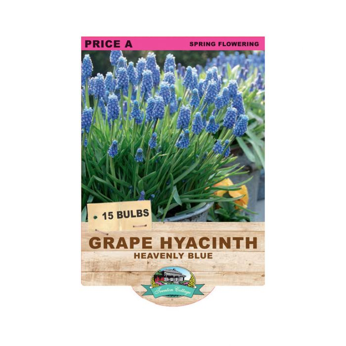 Grape Hyacinth Heaven Blue  ] 9315774070717 - Flower Power