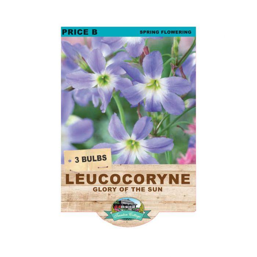 Leucocoryne Glory of Sun  ] 9315774071103 - Flower Power