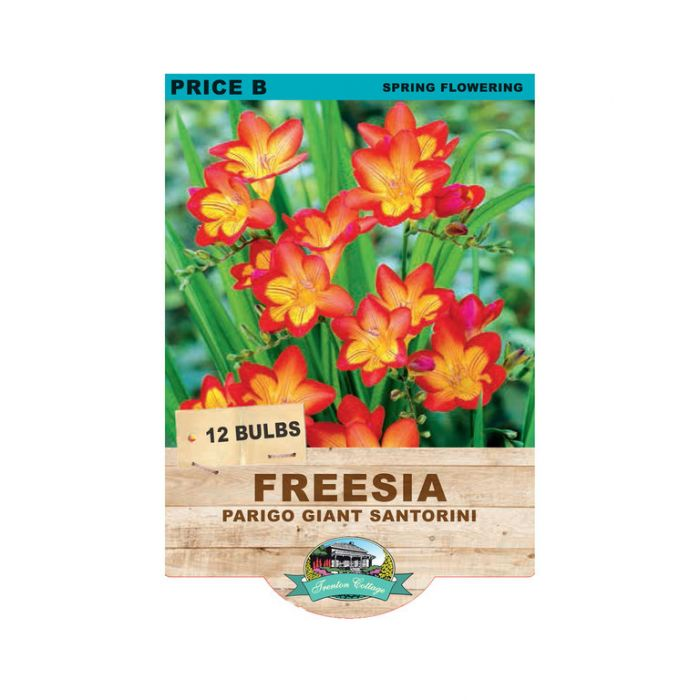 Freesia Parigo Santorini  ] 9315774071554 - Flower Power