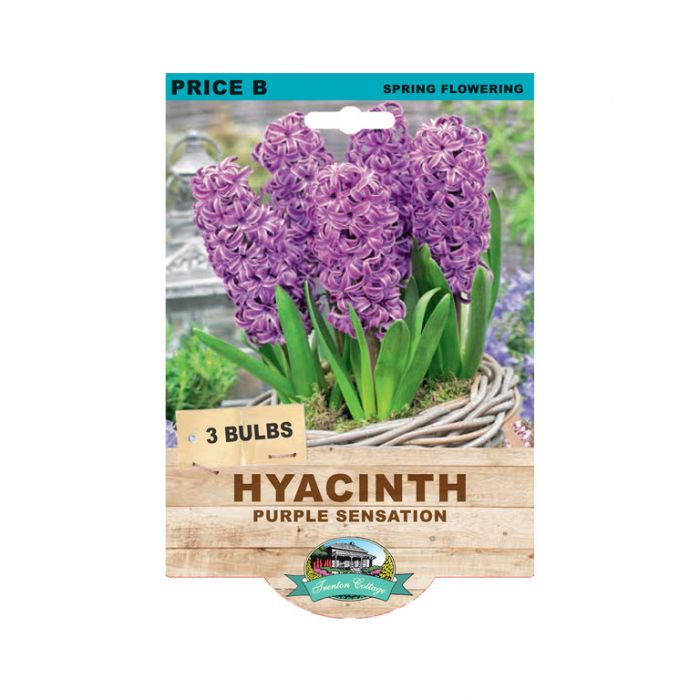 Hyacinth Purple Sensation  ] 9315774073411 - Flower Power