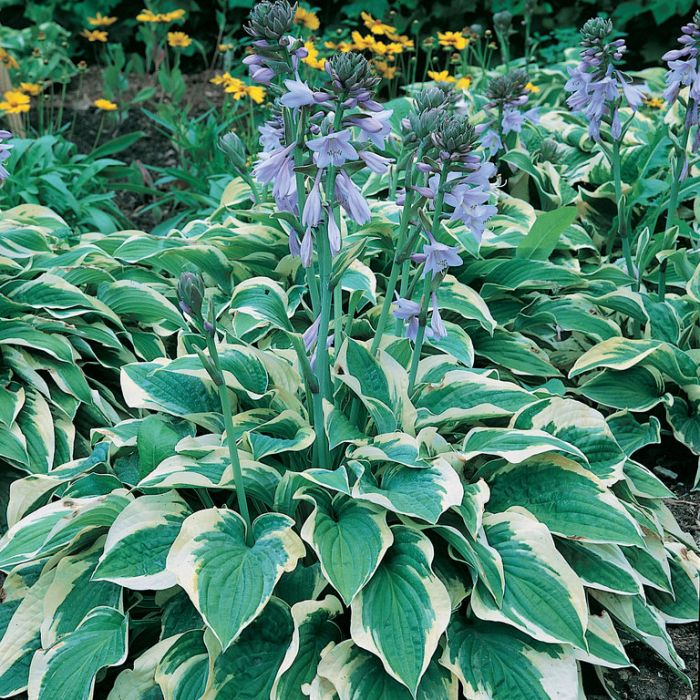 Hosta Wide Brim  ] 9315774074845 - Flower Power