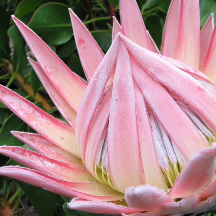 Protea King Pink  ] 9317024000314 - Flower Power