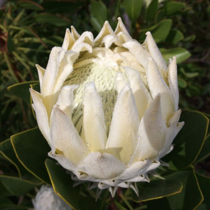 Protea King White  ] 9317024004329P - Flower Power