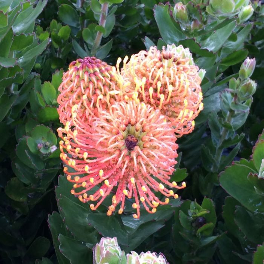 Leucospermum Carnival ® Coast  ] 9317024006064P - Flower Power