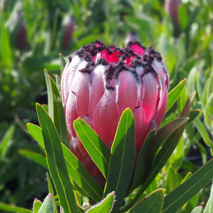 Protea Australis Ruby  ] 9317024007900P - Flower Power