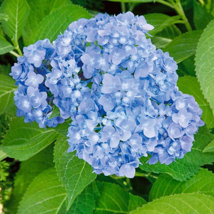 Hydrangea Endless Summer  ] 9317036281701 - Flower Power