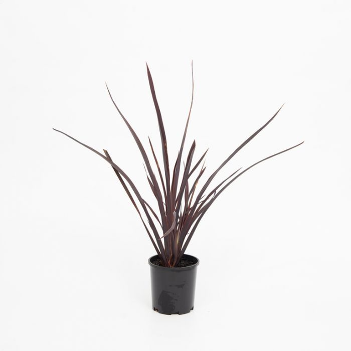 Phormium 'Dark Delight'  ] 9317120007088 - Flower Power