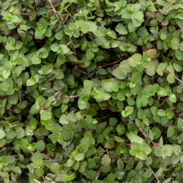 Callisia Green Hanging Basket  ] 9317182031731 - Flower Power