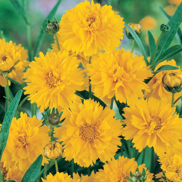 Coreopsis Early Sunrise  ] 9317759021196 - Flower Power