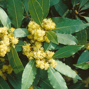 Bay Tree Topiary Standard  ] 9319585006408 - Flower Power