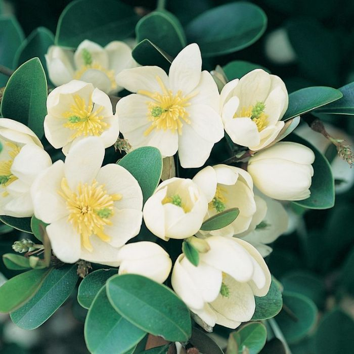 Magnolia Scented Pearl Topiary Standard  ] 9319585025966 - Flower Power